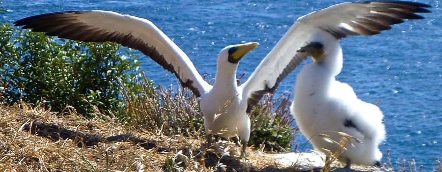 Masked booby spreads its wings