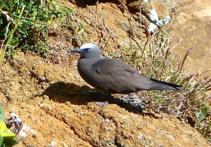 Common noddy