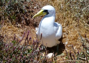 masked booby and egg