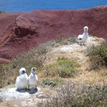 masked booby pair and chick
