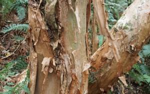 Fuchsia Bark