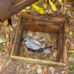 Chatham petrel adult