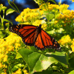 Wintering over monarch butterflies spotted in Auckland