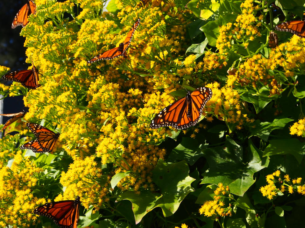 Wintering over monarch butterflies spotted in auckland for Monarch house