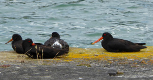 pied oyster catchers greet us on arrival wharf