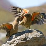 Vote Kea for Bird of the Year